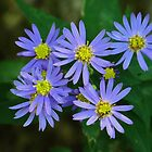 Little Blue Asters by lorilee