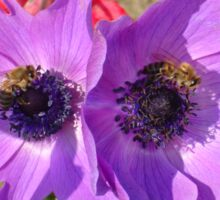 A Pair of Purple Pink Anemones with Honey Bees Sticker