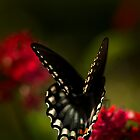 Ringling Swallowtail by Beth Mason
