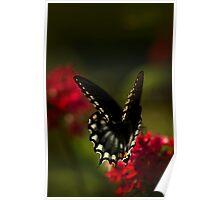 Ringling Swallowtail Poster