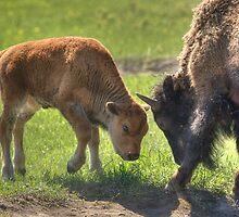 Little Big Bull - The Challenge by JamesA1