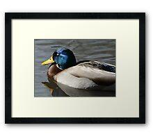 Mallard Duck Drake sleeping Framed Print