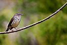 Northern Waterthrush by Michael Cummings
