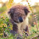Koala in the Front Yard by jamjarphotos