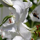 Lily and hummingbird moth by Dennis Cheeseman