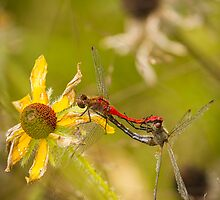White-Faced Meadowhawks Mating by Thomas Young