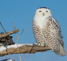 A snowy stare by Heather King