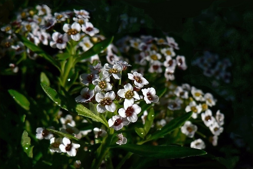 Under The Raindrops; Alyssum by paintingsheep