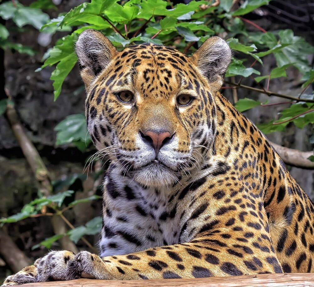 Jaguar Edinburgh Zoo by Miles Gray