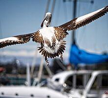 Pelican's successful lift off (in Batemans Bay/NSW/Australia) by Wolf Sverak