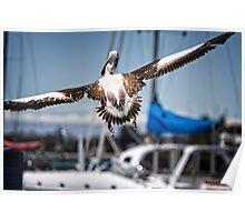 Pelican's successful lift off (in Batemans Bay/NSW/Australia) Poster