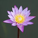 Water Lily by luissantos84