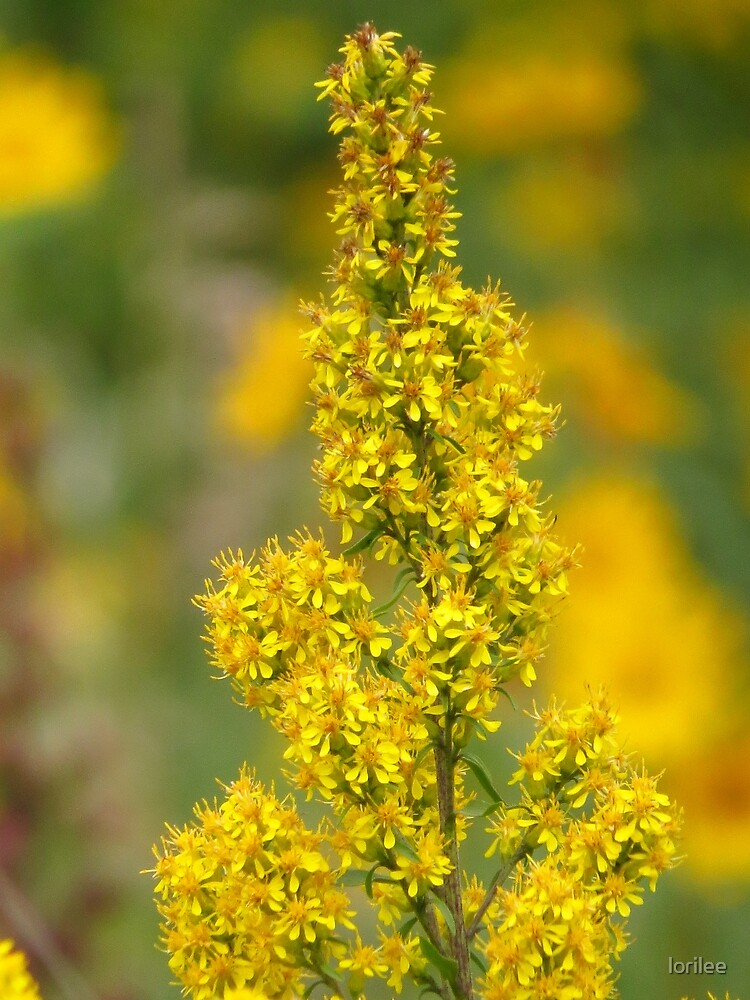 Autumn Goldenrod by lorilee