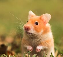 golden hamster pet by PhotoStock-Isra