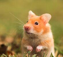 golden hamster pet by PhotoStock-Isra