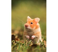 golden hamster pet Photographic Print