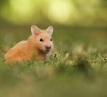 golden hamster pets on lawn by PhotoStock-Isra