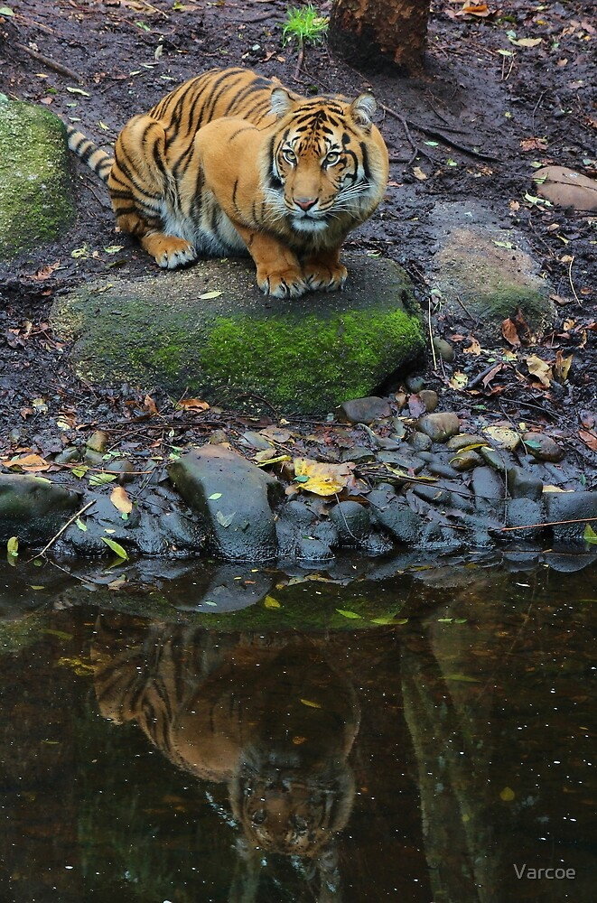 Tiger by Jeanette Varcoe.