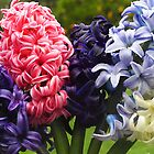 Hyacinths- various colours by Bev Pascoe