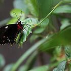 Butterfly by Jeanette Varcoe.