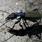 Tiger Beetle ( out hunting at night ) Lake Manyara Tanzania by john  Lenagan