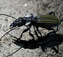 Tiger Beetle ( out hunting at night ) Lake Manyara Tanzania by john  Lenagan