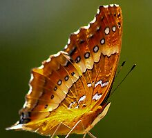 Madagascan Butterfly  -  Ramanofarna Madagascar by john  Lenagan