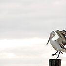 Pelican Dance by Jenny Dean