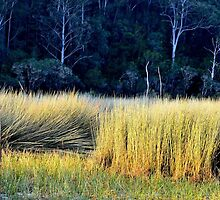 Reeds by Sally Murray