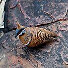 Spinifex Pigeon  - Kings Canyon Northern territory Oz  by john  Lenagan
