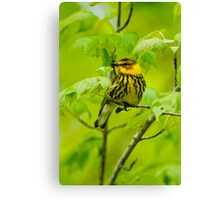 Cape May Warbler Canvas Print