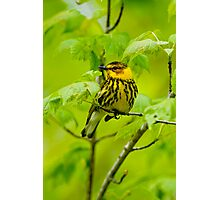 Cape May Warbler Photographic Print