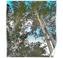 Blue Gum Canopy Poster