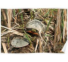 Pair of Painted Turtles Warming in the Sun Poster