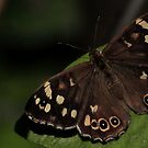 Speckled Wood by snapdecisions