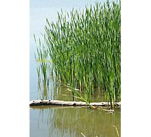 Floating Log in a Marsh Photographic Print