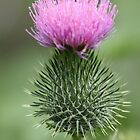 Thistle beside the path  by RickLionheart