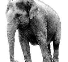 Indian Elephant. Wildlife Digital Engraving Image by digitaleclectic