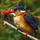 Malachite Kingfisher by Linda Sparks