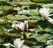 White Water Lilies by rhamm