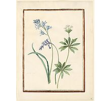 Circle of Madeleine Françoise Basseporte  Hyacinthus (left). Queen-of-the-meadow, meadow-sweet (Filipendula palmata) (right) Photographic Print