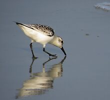 Sandpiper by virginian
