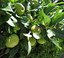 Apples Ripening - Lost Gardens of Heligan by MidnightMelody