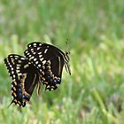 Black Swallowtail Butterflies by Bob Hardy