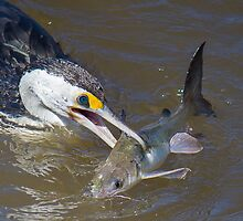 Big Lunch For Pied Cormorant by NickVerburgt