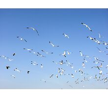 FLYING FLOCK OF SEAGULLS Photographic Print