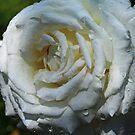 Pope John Paul II Hybrid Tea Rose by Robert Armendariz