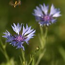 Wild Cornflower by brianfuller75