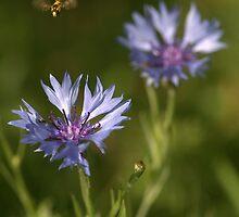 Wild Cornflower by brianfuller75