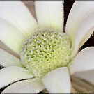 Flannel Flower by Helenvandy